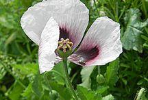 Flores / Flores de Chile-