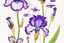 Z kosatce - Iris