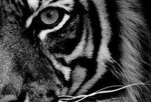Grote katten / Luipaarden, leeuwen, tijgers en veel meer!