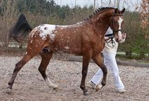 Appaloosas - Blankets / Appaloosas with the blanket pattern, and having some degree of white markings