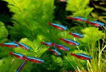 Ikan Cardinal Tetra (Kar Tetra)