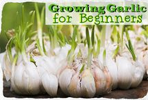 Grow Garlic