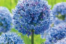 Flower Bulbs for Fall / Our quality flower bulbs are the best place to start. Flower bulbs are incredibly easy to grow, and many of the most sought-after plants begin as bulbs. With a little water and patience, you'll have gorgeous plants in no time. Bring beauty and variety to your landscape!   Available at MichiganBulb.com