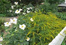 Anemone Combinations / Plant partnerships that include anemones (also known as windflowers)
