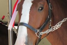 Budweisers Clydesdales / The recent visit of the majestic Clydesdale Horses #followthehitch