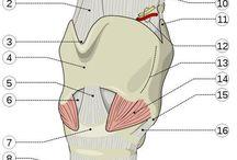 anatomia i fizjologia narządów głosu i mowy