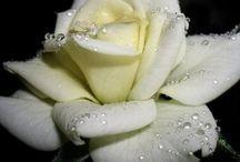 фото белые розы