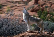 Coyotes / One of my totems