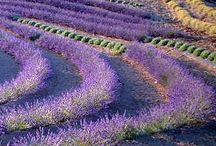 Lavender Fields / Loving lavender / by JoAnne Augh