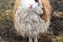 Fibre Sheep