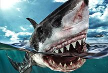 White sharks