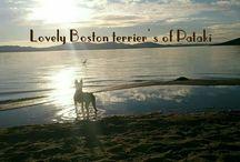 Lovely Boston Terrier's of Pataki