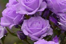 прекрасные цветы-розы