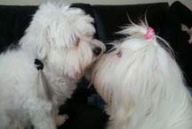 Coton life / #dogs #cottondetulear  #toydogs