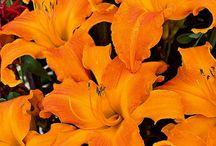 Lilies..