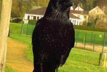 Corneille noire - Carrion crow - Corvus corone / Pics by Thomas Humbert.  Dossier contenant mes photos.