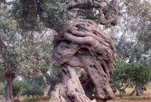 We Love Olives Trees!