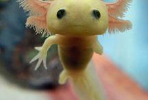 Amazing cute creature : Axolotl !