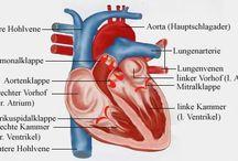 Anatomie Herz