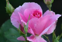 분홍 장미1