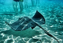 "Stingray City | Cayman Islands / ""You have to experience this while in Grand Cayman! The stingrays were swimming all around us and we fed them squid."" - TripAdvisor Review - Visit Cayman Islands — at Stingray City."