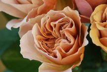 Rosa / roses and rose info