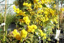 Le Mimosa / Bormes, capitale varoise du mimosa ! Dans le Var, le mimosa est intimement lié à l'image de Bormes depuis qu'en 1968, en raison du grand nombre d'acacias présents sur la commune, les autorités ont décidé de rattacher cette particule fleurie à son patronyme d'origine.