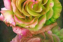 Roses / by Mrinalini Singh