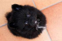 Pomerania negro