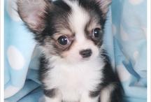 Big Love; Chihuahua