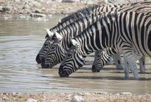 Heimwee naar Namibië en Botswana / In mei/juni 2013 rondgereisd met jeep en tent door het noorden van Namibië en Botswana. Geweldig!
