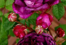 Plant Rose