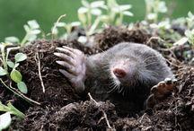ANIMAL • Mole