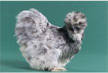 Chickens silkie