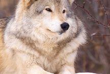 Loup / Loup
