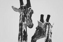 Giraffes / by Lori Starkey