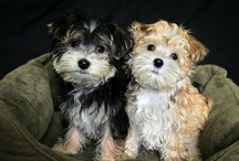 Morkie love / by Kimberly Fiser