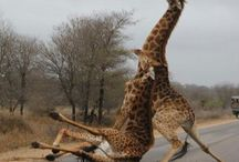 the giraffe falls...