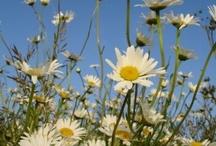 Little Herbs - Cream