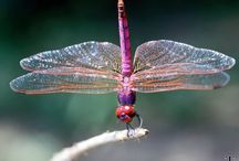 Dragonflies / by Sandy Rogers