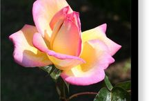Pink and Yellow Rose Bloom!
