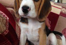 Joy, amica a quattro zampe / Joy è una dolce beagle nata il 14 aprile 2016