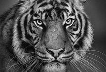 Tigrr