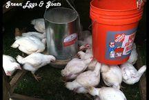 Green Eggs & Goats / The very best homesteading posts from www.greeneggsandgoats.com