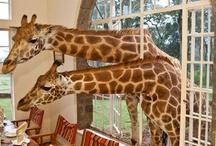 giraffe!  The cutest of all wild...