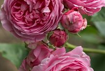 Glorious Roses / Roses, in all their beauty and majesty