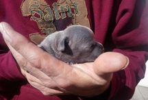 Pets / Staffordshire Bull Terrier Blue Pied