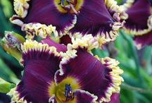 My Iris and Day-Lily Garden / irises and Day-Lilies