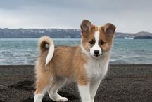 Islandske fårehunde