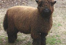 southdown sheeps